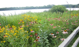Naturalized Lakeshore Buffer